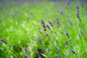 lavender is a wild fragrant aromatic plant