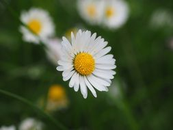 daisy flower on a blurred background
