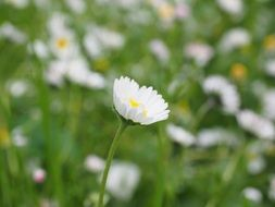 little daisy on the meadow