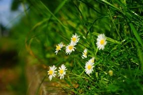 white daisies in green grass
