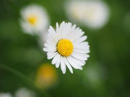 white daisy flower on a blurred background