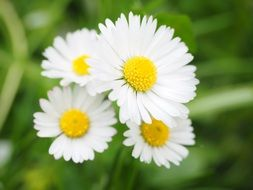 four white daisy flowers