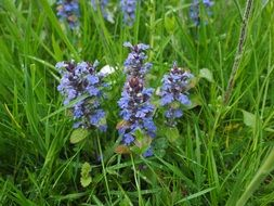 ajuga günsel Flower