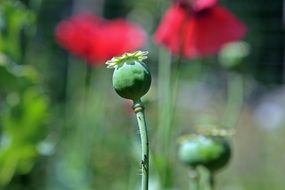 poppy seeds in a bud closeup