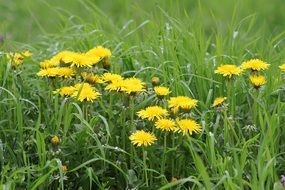 yellow dandelions in green grass
