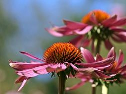 pink echinacea flowers on a blurred background
