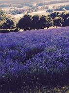 Picture of the Lavender Field