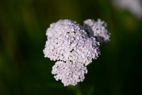 nice Yarrow flower