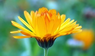 calendula for the manufacture of drugs