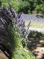 aromatic lavender bouquet