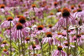 pink Coneflower Flowers