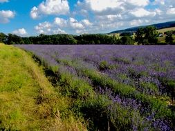 field of scented lavender