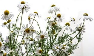 chamomile is a fragrant flower