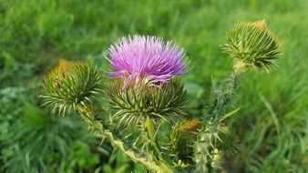 musk thistle in nature