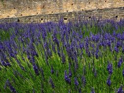 field of lavender blossoms