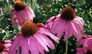 purple drug echinacea
