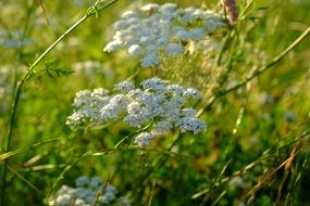 wild carrot Blossoms