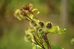 Picture of Great Burdock