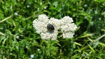 bug sitting on the common yarrow
