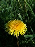 yellow dandelion in grass