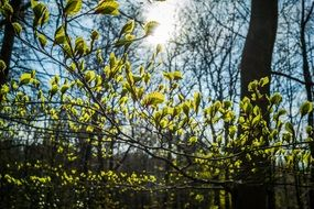 Green Beech Leaves at the sunlight