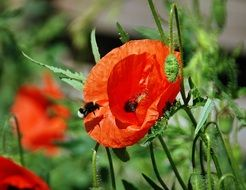 bumblebee pollinating poppy flower