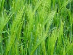 Green wheat plants
