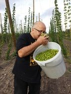 fresh hops in a white bucket