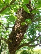 Picture of Hive and Bees on a tree