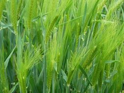 green cereal field closeup