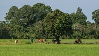 Agricultural Field Work In Cambodia