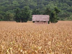 Corn Cultivation Field Harvest