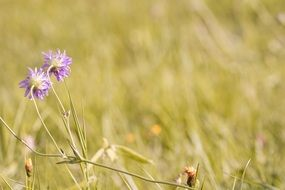 two purple flowers of Scabiosa Columbaria on Meadow