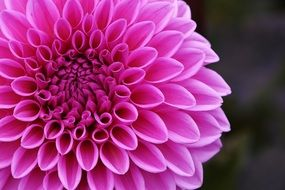 perfect pink dahlia flower