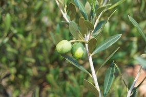 green olives on a branch on the Mediterranean coast
