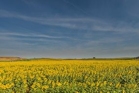 panorama of the sunflowers field on a sunny day