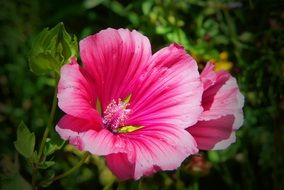 pink mallow on a branch close-up