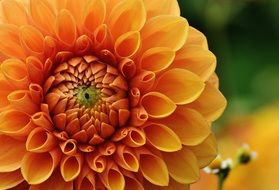 lush orange dahlia close up