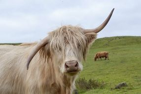 portrait of a highland cow on a pasture in scotland