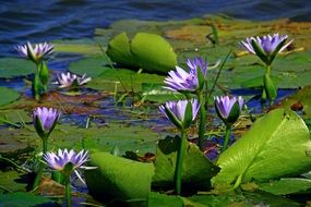 purple water lily on green leaves