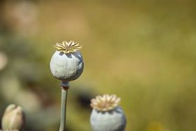 Poppy capsules with seeds