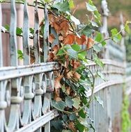 Ivy on wrought iron Fence