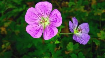 two geranium buds close up
