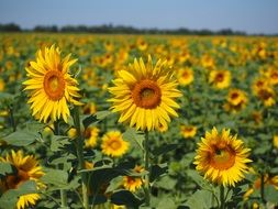 bright photo of a field of sunflowers