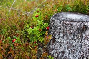 green bush with red flowers near the stump