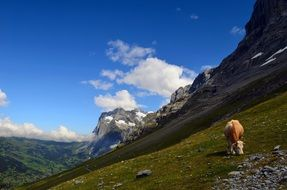 lone cow chews grass and Grindelwald Alpine