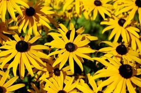 coneflowers, blooming Rudbeckia