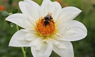 bee on the white dahlia flower
