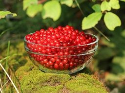 summer ripe red currant