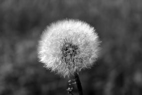 Dandelion Fluffy head close photo